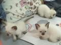 出售泰国暹罗猫咪