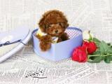 济南 完美品相 公母齐全 签协议纯种健康 泰迪犬