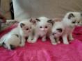 自家繁殖甜美布偶猫宝宝公母都有加菲猫