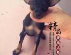 天津哪里卖纯种小鹿犬幼犬