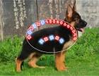 纯种霸气威武德牧幼犬出售 服从性强 品相好品种纯正