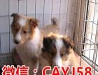 做良心犬业丨卖健康宠物丨纯种苏牧丨签协议包养活