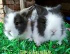 出售宠物兔,仓鼠,熊,垂耳兔,盖脸猫猫兔