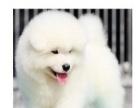 小萨摩幼犬是双眼皮的,小狗雪白无暇。聪明大气