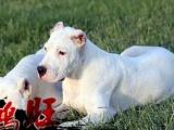 湛江哪里有卖健康的杜高犬