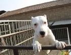 三个月的杜高犬多少钱一条