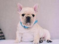 狗场解散,直销世界各种萌宠名犬签协议全国包邮全国可发货