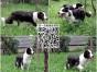 犬舍繁殖边境牧羊犬 纯种边牧幼犬出售 可上门挑选 送用品