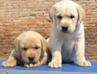 狗场直销拉布拉多包纯种,包健康,可签保障协购买送