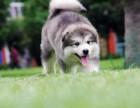 太原纯种阿拉斯加价格,太原哪里能买到纯种阿拉斯加犬