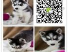 重庆出售哈士奇幼犬 重庆哪里有卖纯种健康哈士奇犬