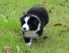 双血统赛级品质边境牧羊犬幼犬疫苗做齐签署质保协议