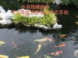 绍兴锦鲤..红白锦鲤..