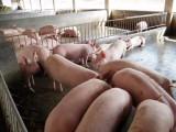 育肥猪怎么喂长得快,优农康告诉您每头猪多赚20元的好方法