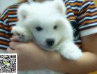 在哪里买纯种的西银狐幼犬 银狐幼犬最低多少钱