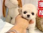 正宗泰国血统的小体泰迪宝宝接受爱狗人士的预定