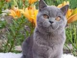 萌宠可短租猫咪活体宠物猫活体蓝猫高品质