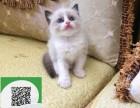 大连哪里有卖布偶猫 大连出售布偶猫 大连布偶猫买卖