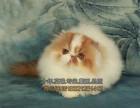 出售波斯猫纯种波斯猫幼猫蓝白色波斯猫宠物猫包邮