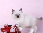 纯种布偶猫多少钱一只