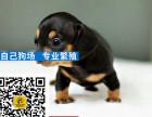 哪里有卖腊肠腊肠多少钱腊肠图片腊肠幼犬
