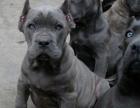 卡斯罗犬舍直销直播看狗 百度可查 可送上门