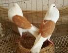 云南马甲球鸽子哪里有卖的呢