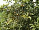 5年柠檬树,琵琶树,柚子树,梨子树,因包地所买