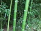 北京绿化竹子批发商送货上门货到付款适合北方耐寒竹子苗