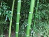 北京綠化竹子批發商送貨上門貨到付款適合北方耐寒竹子苗