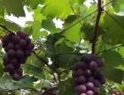 兰溪附近浦江葡萄园基地摘葡萄 好吃