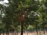 海南30公分法桐树批发厂家在