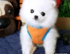 精品泰迪博美犬 证件齐全 认证犬舍 质保三年 送货上门