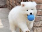 出售高贵优雅微笑天使萨摩耶幼犬 雪白无泪痕帅