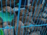 魔王松鼠140包邮,雪地松鼠,迷你刺猬,蜜袋鼯