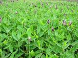实惠的再力花潍坊哪里有,山东苗木种植基地
