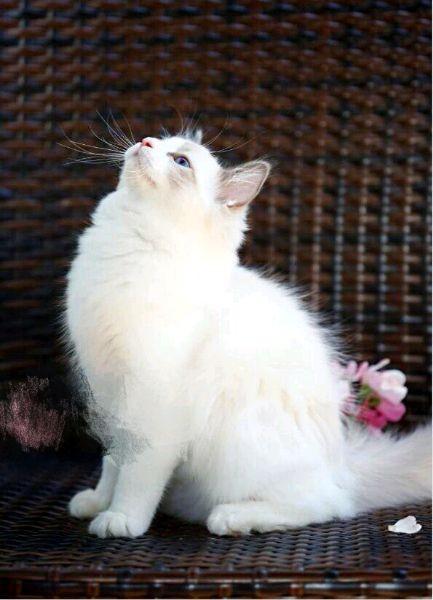 太原哪里有布偶猫卖 海豹双色 重点手套均有CFA认可多只可挑