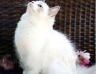 石家庄哪里有布偶猫卖 海豹双色重点手套均有CFA认可多只可挑