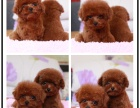 本地哪里宠物繁殖基地上门挑选 泰迪 娃娃脸