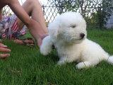 家养一窝纯种比熊犬可以签协议 来家里看狗父母