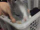 宠物兔,狮子兔猫猫兔,垂耳兔,侏儒兔