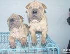 出售纯种沙皮犬短毛狗大型犬沙皮狗活体幼犬宠物狗狗