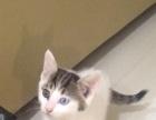 鸳鸯眼 狸猫 小猫 宠物猫