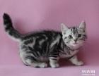 广州家养长期出售美短虎斑猫 包子脸大眼睛 零售批发都有