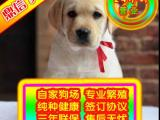 大骨量 拉布拉多 国内顶级拉布拉多犬 北京专业养殖