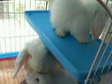 自家繁殖宠物兔。垂耳兔