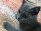 出一只家养蓝猫两个月