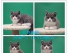 【无锡本地家养】纯种英短蓝猫 渐层、美短猫、可上门