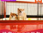 本地出售纯种柴犬幼犬,十年信誉有保障