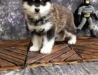 临沂哪里有宠物狗卖阿拉斯加幼犬出售 带证书